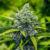High Grade Marijuana Reaching SKN Shores
